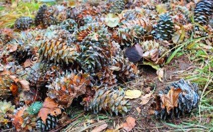 Блог Алексея Пелевина: Поездка за кедровой шишкой в отроги Южного