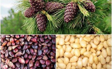 Кедровые орехи: польза и вред, их состав, можно ли употреблять их