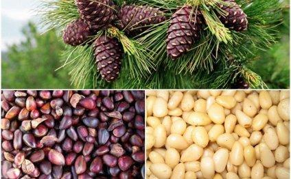 Кедровые орехи при беременности и грудном вскармливании - польза и