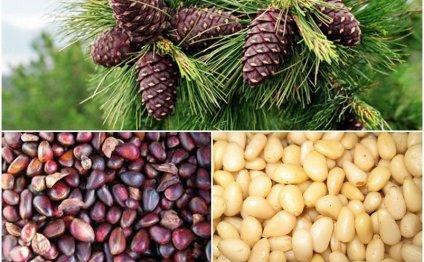 Кедровые орешки: польза и вред для женщин, мужчин и детей