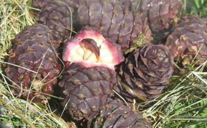 Кедровые орешки - Сибирский медицинский портал