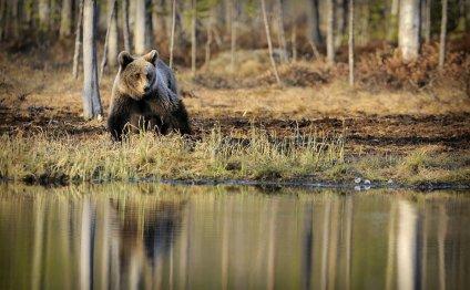 Медвежья желчь применение при онкологии | Натуральные продукты из
