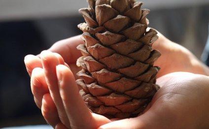 Сбор кедрового ореха: когда собирают, когда созревают, сколько